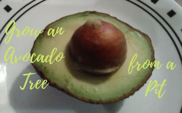 pit in avocado