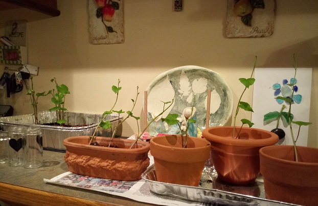 sweet potatoes, slips, pots