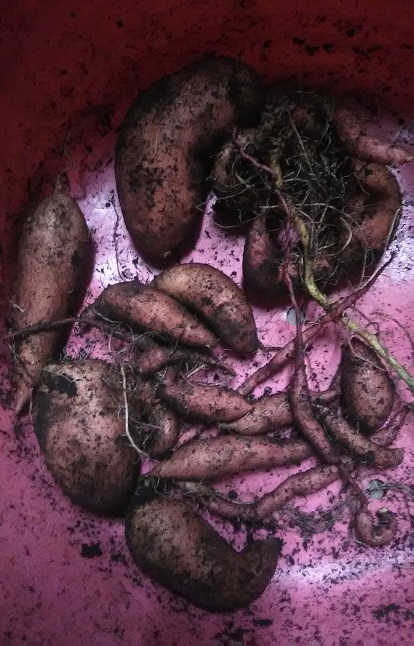 sweet potato haul