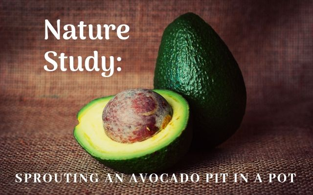 Nature Study Sprouting an Avocado Pit in a Pot